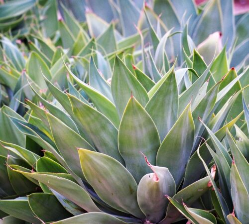 Everything You Should Know About The Agave Plant