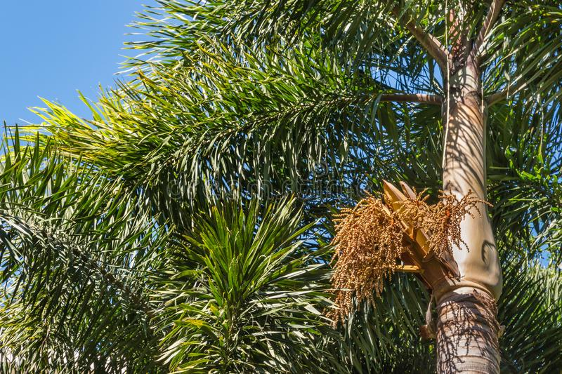 A guide for growing foxtail palm and its proper care.