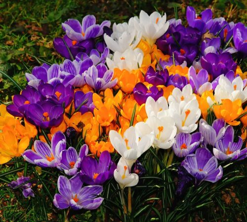 Everything on Growing And Caring of Crocus/ Saffron