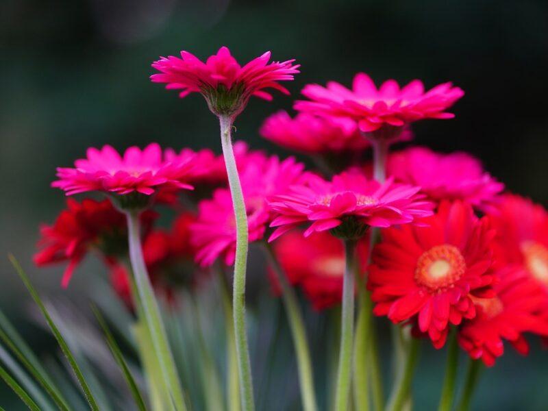 Gerbera Daisy Plant: Best Indoor Oxygen Plant