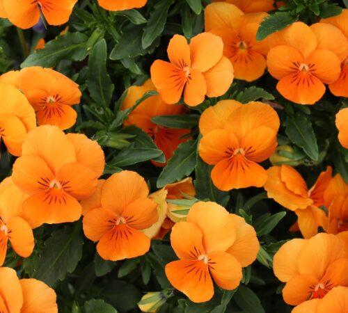 NASTURTIUM PLANT : Everything you need to know