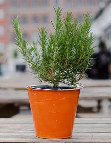 Learn to grow, care and harvest Rosemary plant