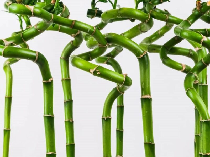 Lucky Bamboo : Shaping, Symbolism and Care Guide
