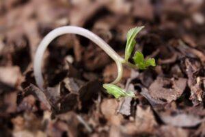seedling-wilt