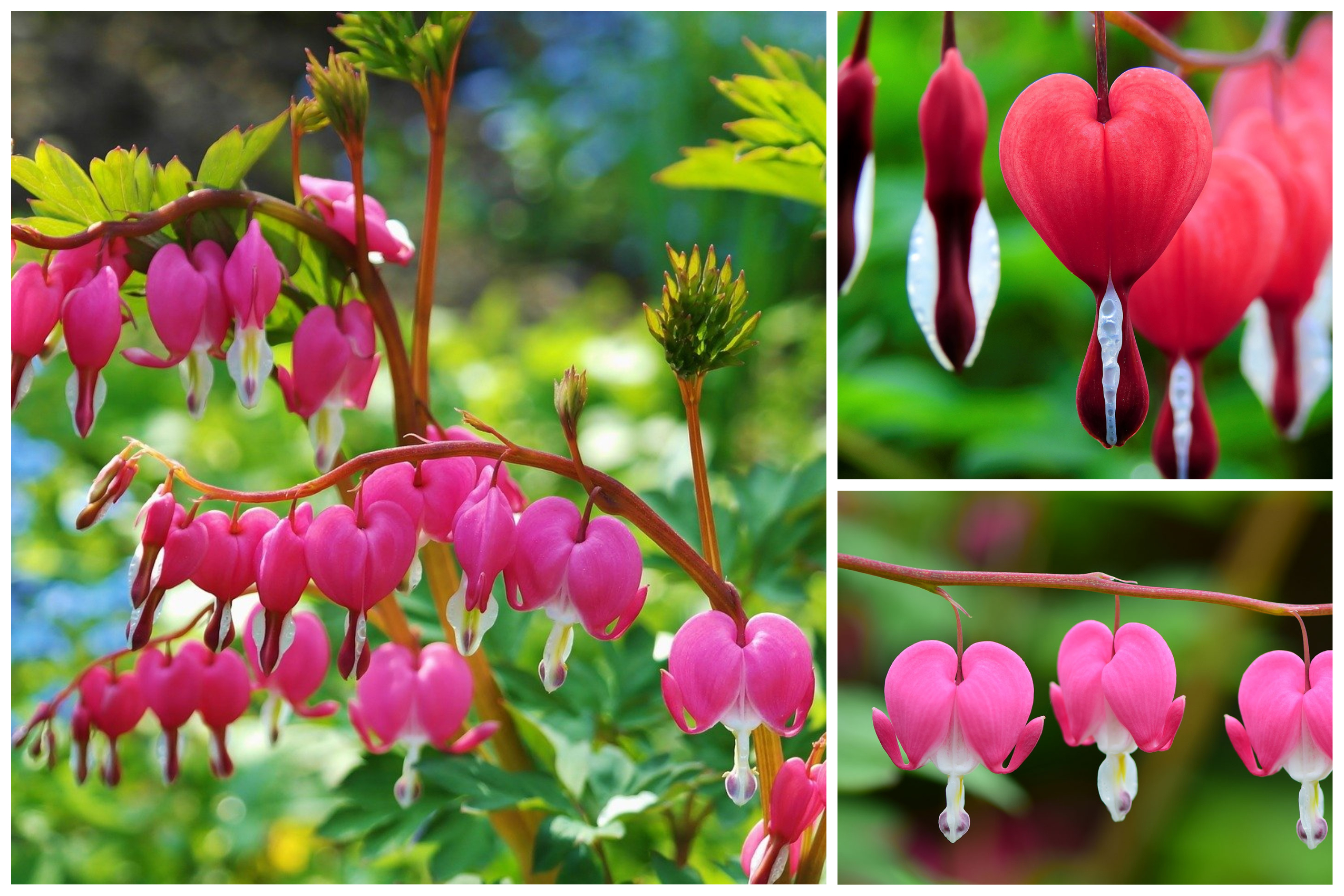 A Guide on How to Plant, Grow and Care Bleeding heart flowers?