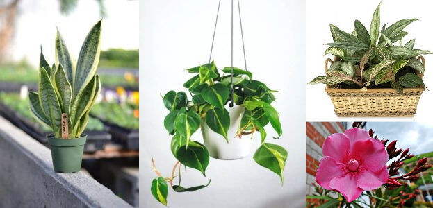 Houseplants Poisonous to Pets and Human with Symptoms and Treatment