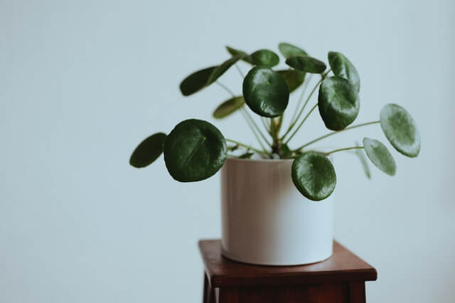 Chinese Money Plant: Pilea Perperomioides Growing Guides